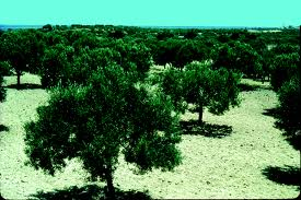 The Olive Groves of Lepti Minus